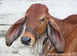 Korat_Thailand_cow