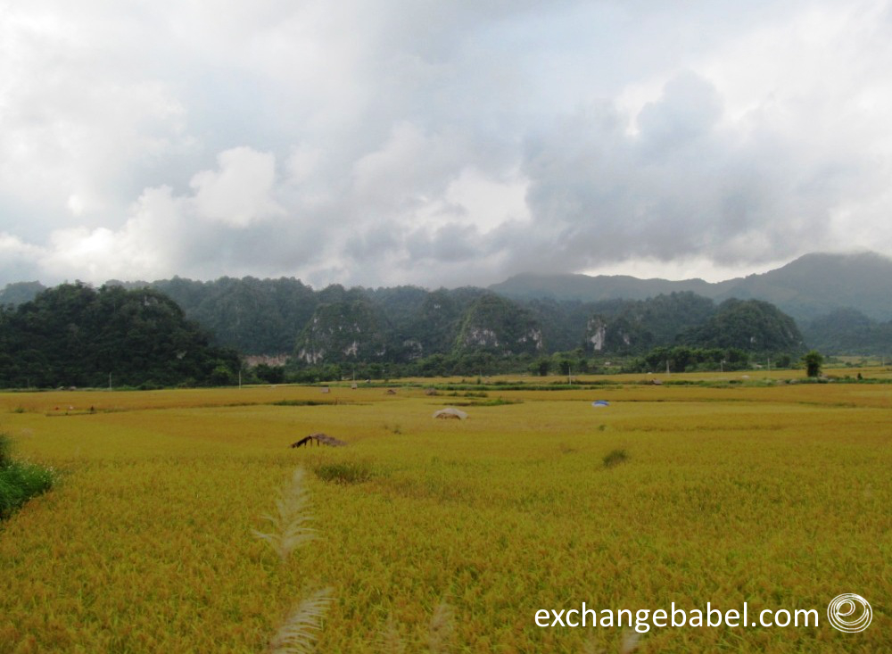vietnam_thanh hoa_rice_paddy_countryside