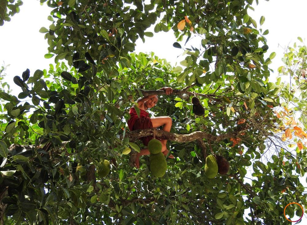 inle lake_jackfruit picking