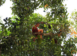 inle lake_jackfruit picking
