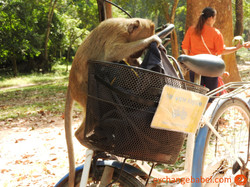 siemreap_angkorwat_smart_monkey_cambodia