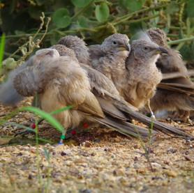 The Babblers morning dance.jpg