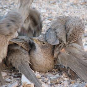 זנבן ערבי (Turdoides squamiceps) ציפור שיר החיה בסביבה המדברית. הזנבנים הם הציפורים היחידות בישראל החיות בקבוצות שיתופיות.jpg