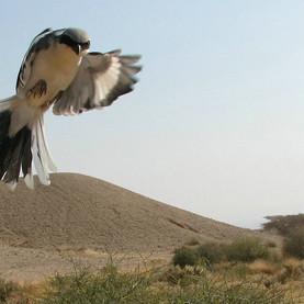 חנקן גדול (Lanius excubitor). ציפור שיר ממשפחת החנקניים שמתמחה בטרף בעלי חיים קטנים. החנקנים משפדים את טרפם על ענפי השיטה במדבר.jpg