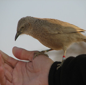 A ringed male Arabian babbler  on the hand of the researcher.jpg