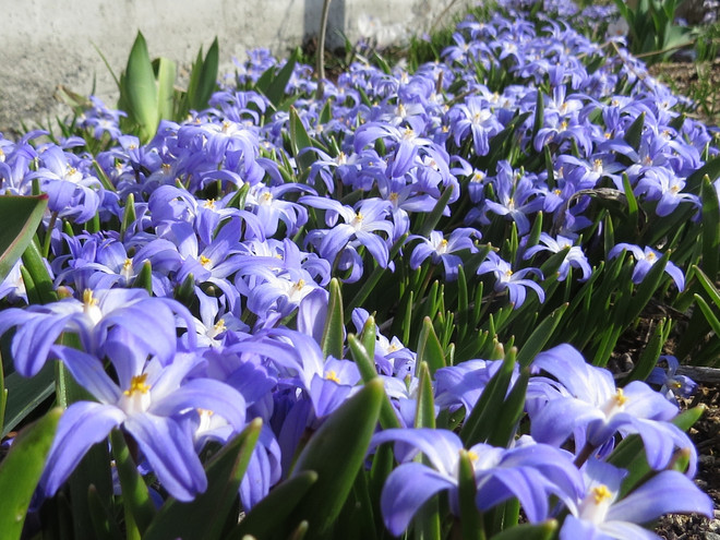 冬の園芸療法2021年度が始まりましたチオノドクサ編 ①