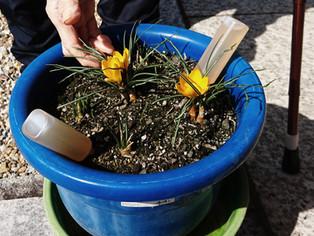 冬の園芸療法2020年度クロッカス編 ⑮