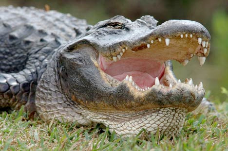 alligator-pictures.jpg