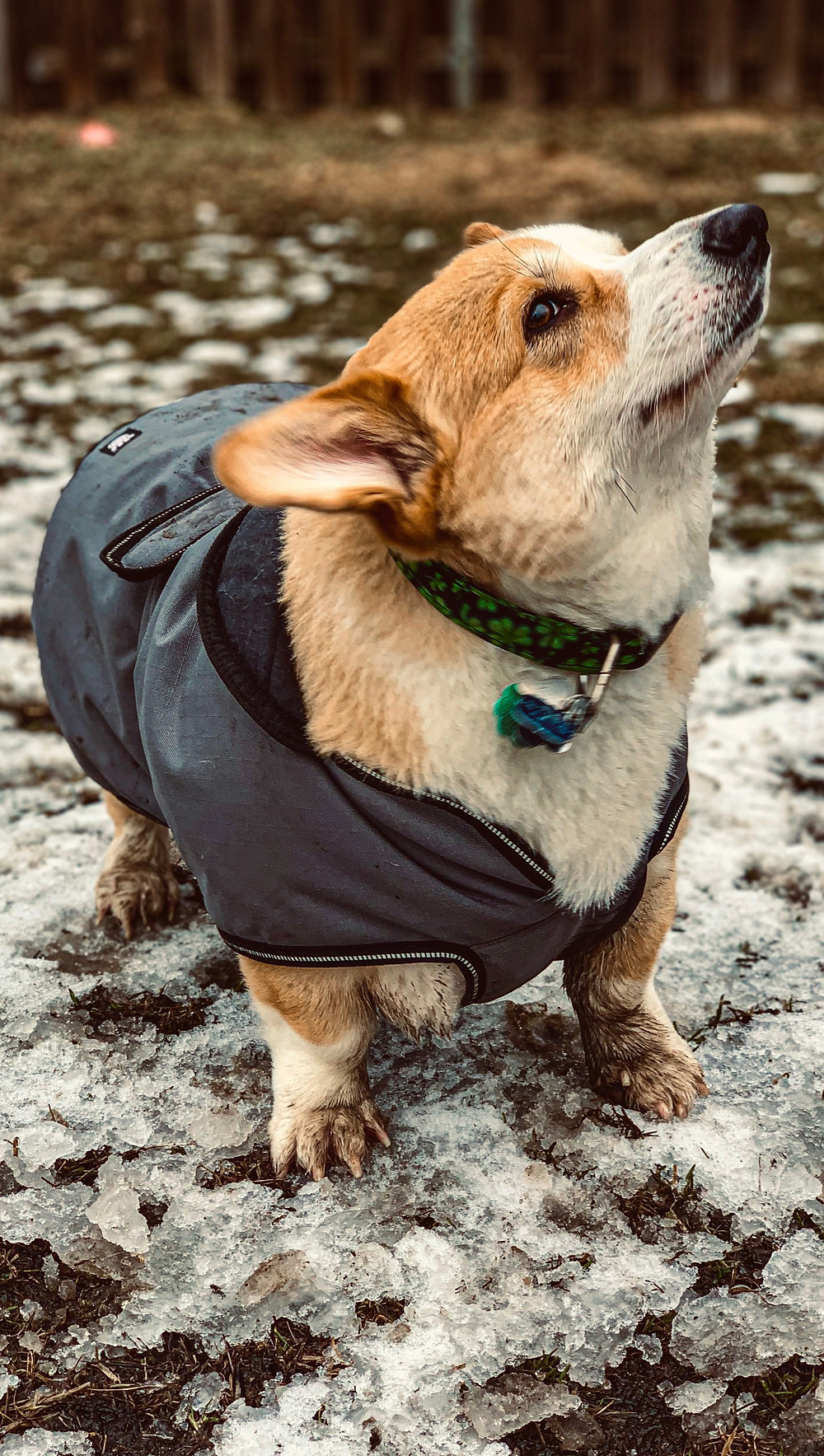 Visual representation of the perfectly designed coat for our dear Winston, as his belly is well covered and protected from the muddy ground to which he'd otherwise have to expose his entire underside.