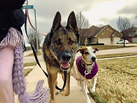 Doc - German Shepherd & Violet - Treeing
