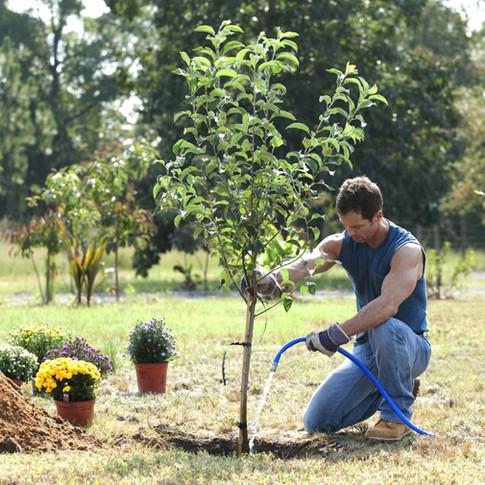 Výsadba drevín