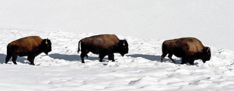 bison16