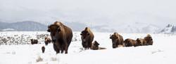 bison15