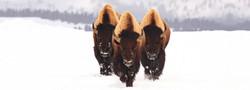 bison12