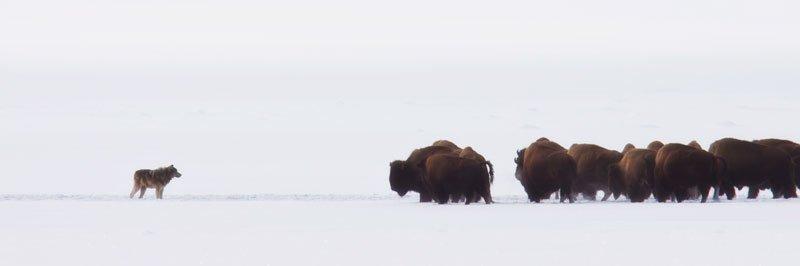 bison19