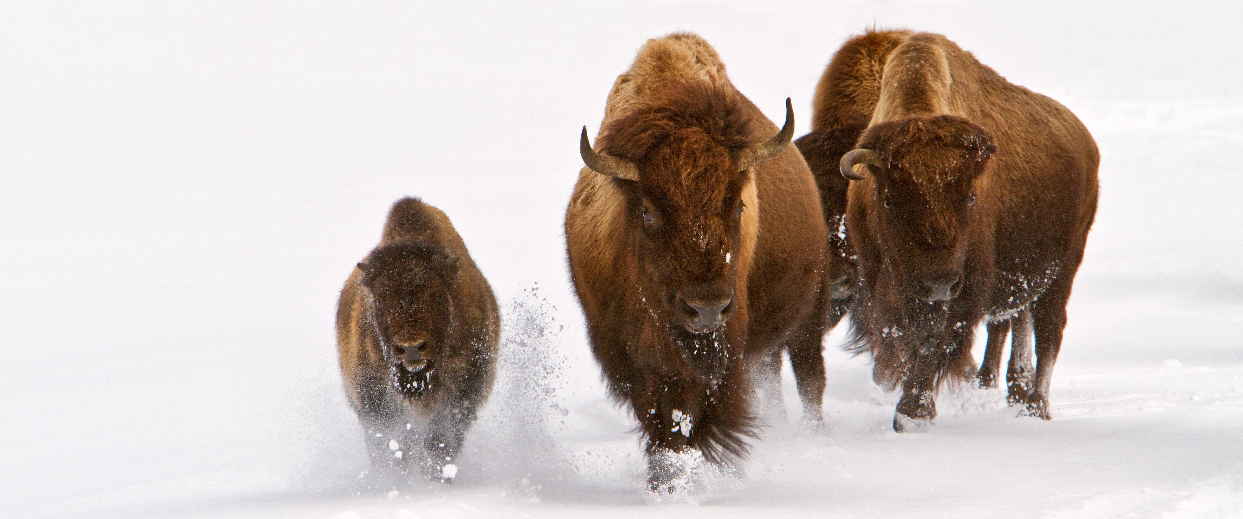 bison11