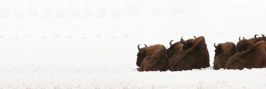 bison18