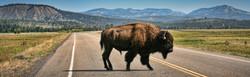 bison20