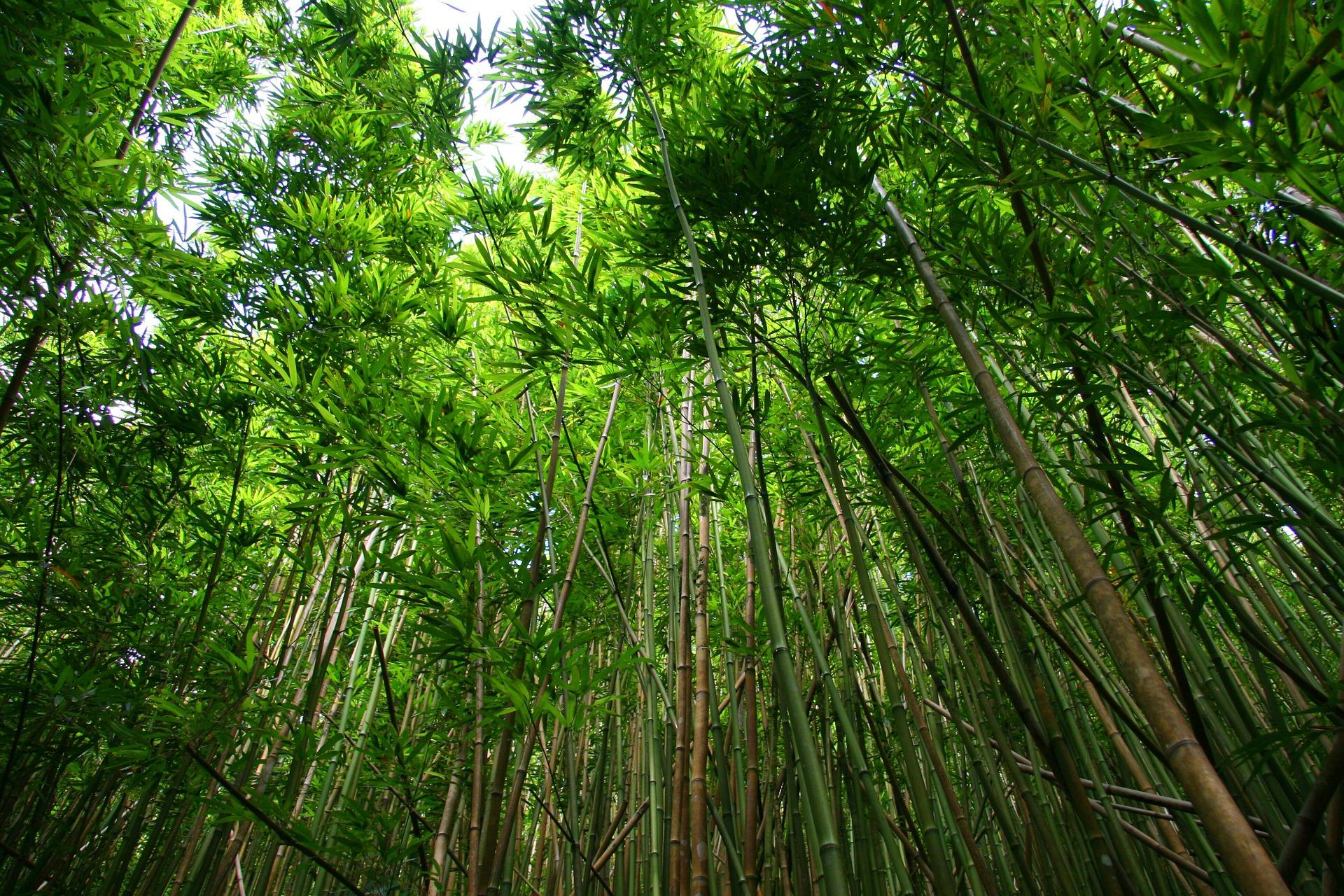 Nachhaltig wachsender Bambus