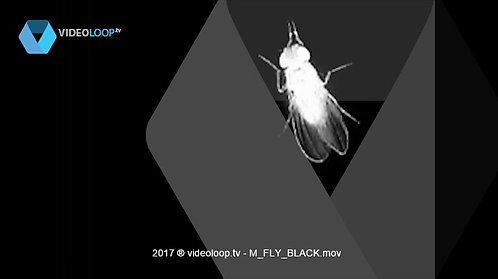VideoLoop.tv | A black and white fly walks on the ground