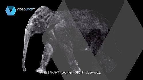 VideoLoop.tv   A walking elephant