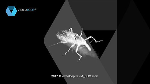 VideoLoop.tv | A black and white insect
