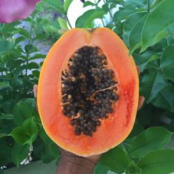 papaya 2