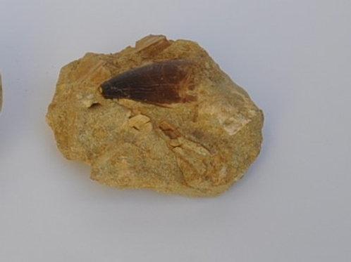 dente de mosassauros em matriz