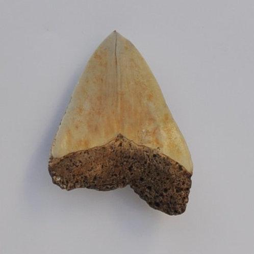 dente de carcharodon megalodon