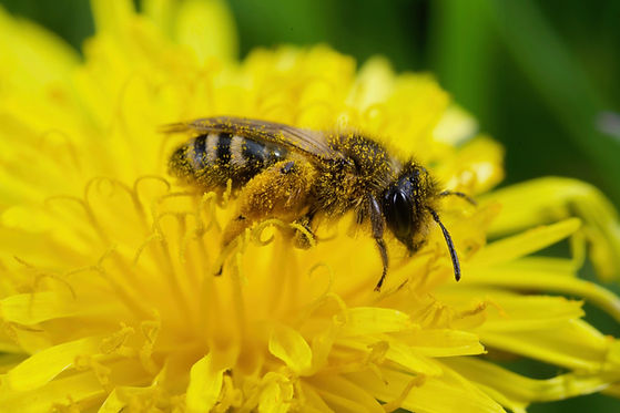 Solitary Bee on Dandelion small.jpg
