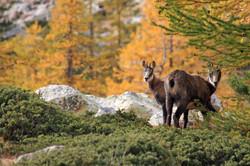 faune-mercantour
