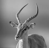 'Impala' by Alan Hillen ( 14 marks )