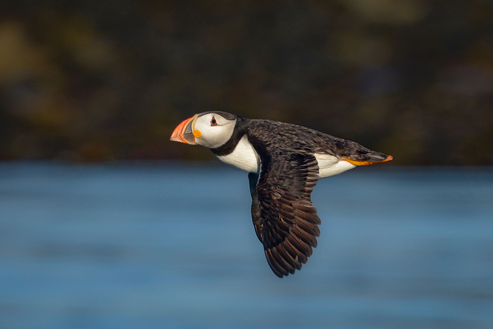 'Puffin in Flight' by lan Hillen ( 13 marks )