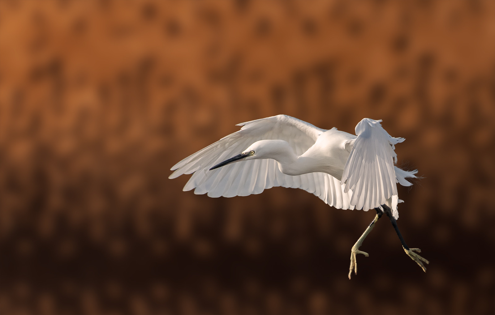 'Little Egret' by Jonny Andrews (13 marks)  -  Ards Camera Club