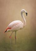 'Flamingo' by Sian Kerr ( 14 marks )