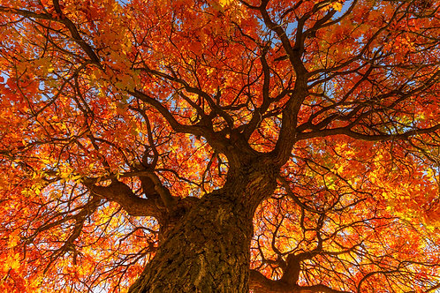 The fire tree