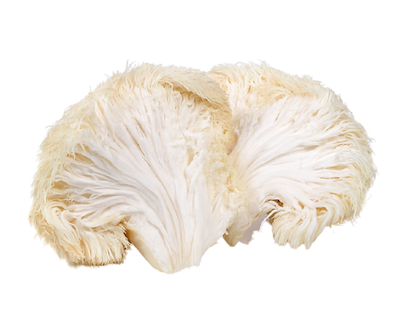 lions-mane-cross-section-1-removebg-prev