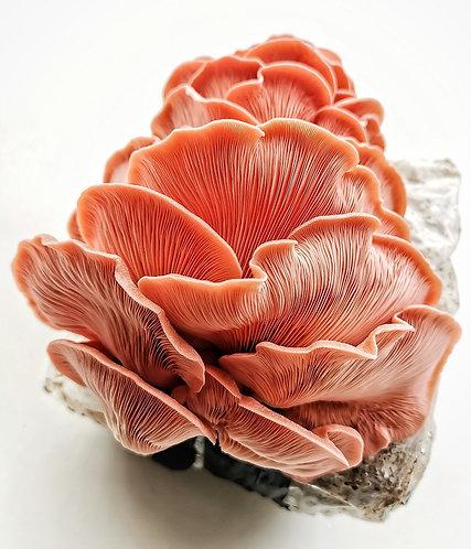 Pink Oyster Mushroom