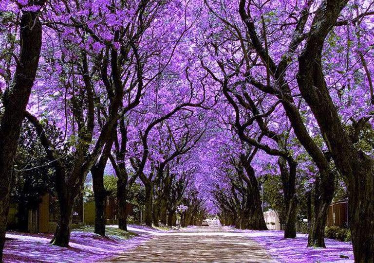 parkwood-jacarandas.jpg