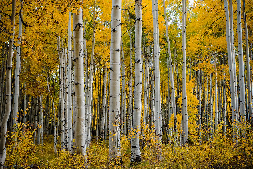Fall foliage in Aspen Grove, Colorado, U