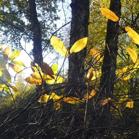 Golden Shimmering Leaves