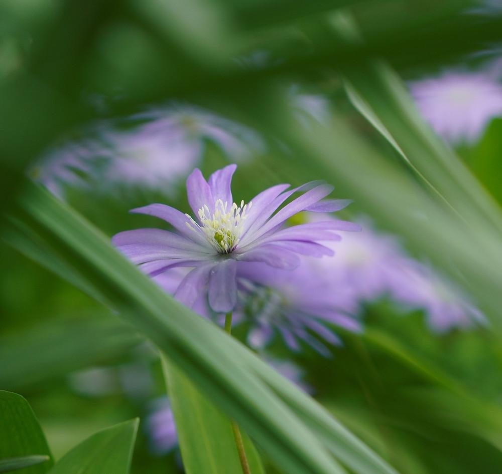 Chicory flowers, spring wild flowers