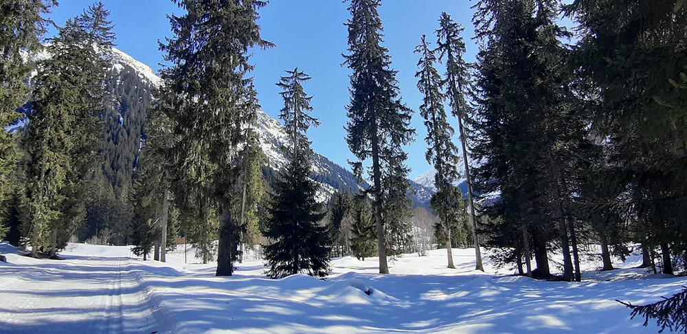 Alpine mountain forests and trees with snow