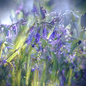 Ethereal Bluebells
