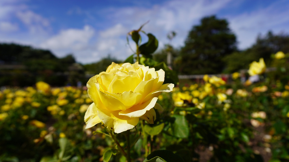 Summer yellow rose in a rose garden
