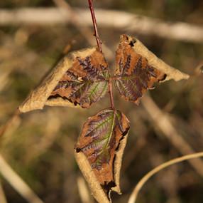 Leathery Leaf!