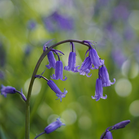 The Perfect Bluebell