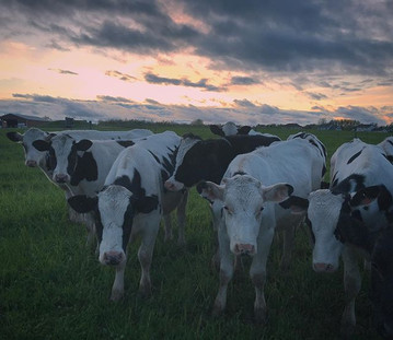 Goodnight from the cows 🐄.jpg