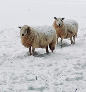 Sheep in the snow near Catbrook