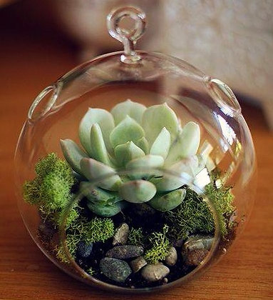 Live Succulent Glass Ornament, 4 x 4 in